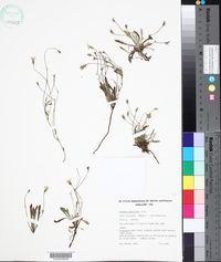 Image of Goodenia geniculata
