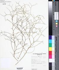 Image of Lechenaultia divaricata