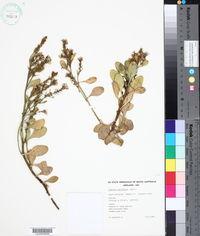 Image of Scaevola crassifolia