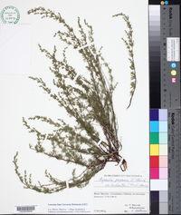 Image of Asperula purpurea