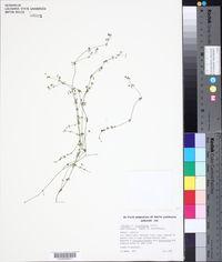 Image of Galium binifolium
