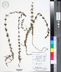 Image of Galium baeticum