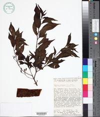 Hamelia calycosa image
