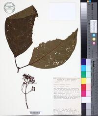 Image of Hamelia longipes