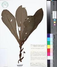 Image of Hoffmannia phoenicopoda