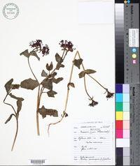 Image of Fedia cornucopiae