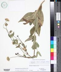 Image of Knautia caroli-rechingeri