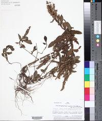 Pseudelephantopus spiralis image