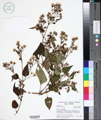 Image of Ageratina chiapensis
