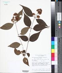 Image of Eupatorium areolare