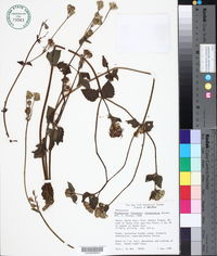 Image of Eupatorium clematideum