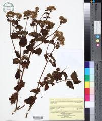Fleischmannia pycnocephala image