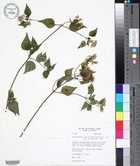 Image of Fleischmannia obscurifolia