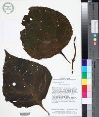 Mikania guaco image