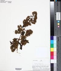 Mikania houstoniana image