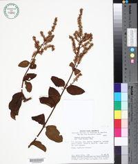 Mikania psilostachya image