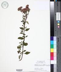 Image of Stevia incognita