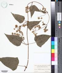 Image of Mikania angularis