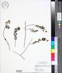Image of Archibaccharis macdonaldii