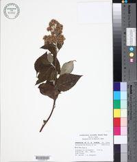 Archibaccharis serratifolia image