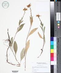 Aster amellus image