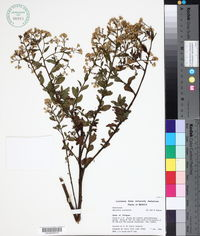 Image of Baccharis serraefolia
