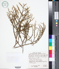 Image of Baccharis articulata