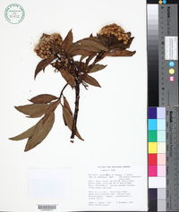 Image of Baccharis buchtienii