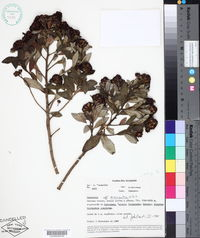 Image of Baccharis macrantha