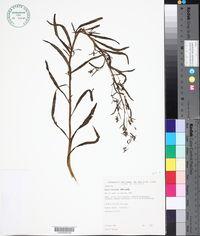 Conyza floribunda image