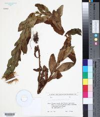 Image of Inula grandiflora