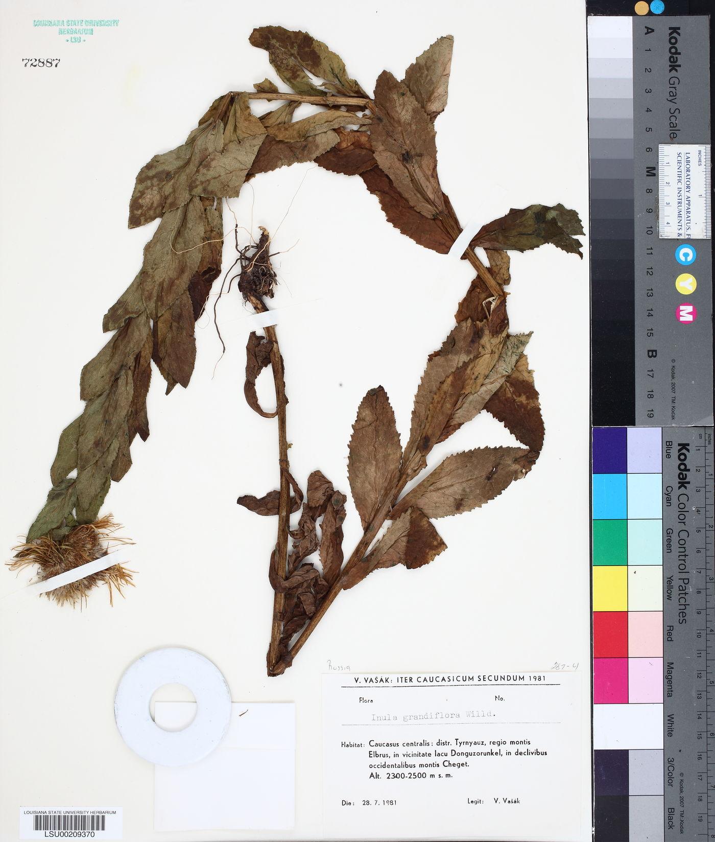Inula grandiflora image