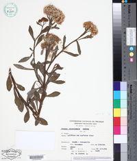 Image of Pluchea microcephala