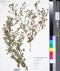 Image of Pluchea tetranthera