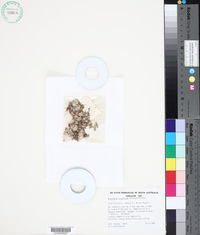 Image of Actinobole uliginosum