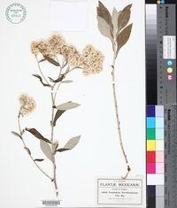 Image of Gnaphalium ehrenbergianum