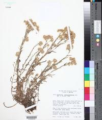 Image of Gnaphalium cheiranthifolium