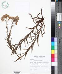Image of Pseudognaphalium dombeyanum