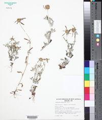 Image of Gnaphalium sphaericum