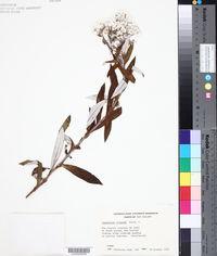 Image of Gnaphalium trinerve