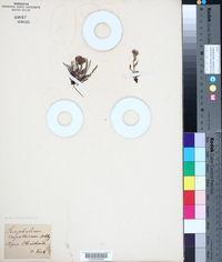 Image of Gnaphalium carpaticum