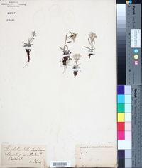 Gnaphalium leontopodium image