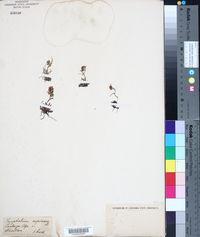 Image of Gnaphalium supinum