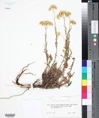 Image of Helichrysum armenium