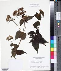 Image of Alloispermum steyermarkii