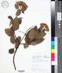 Image of Calea nitida