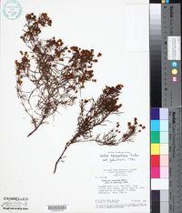 Image of Calea hymenolepis