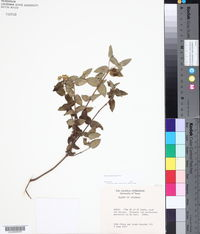 Image of Calea sessiliflora