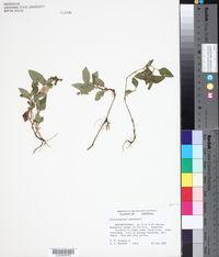 Image of Calyptocarpus wendlandii
