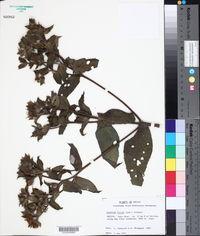Image of Lagascea rigida